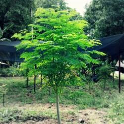 Meerrettichbaum Wunderbaum Samen Moringa oleifera  - 5