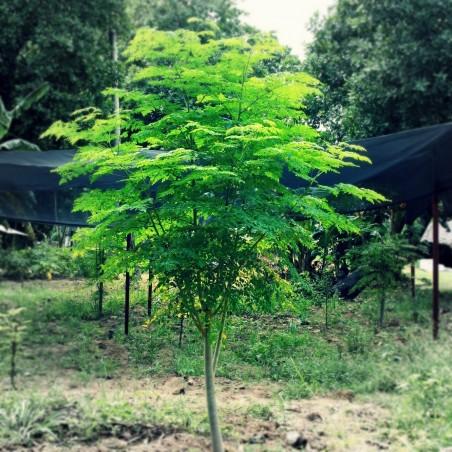 Moringa Drvo Zivota - Cudesno Drvo Seme (PKM 1)  - 5