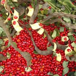 Perlenbaum, Rotes Sandelholz Samen (Adenanthera pavonina)  - 3