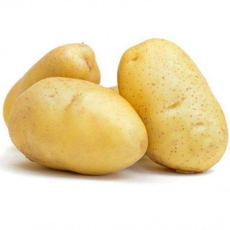 White Skin - White Flesh KENNEBEC Potato Seeds