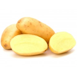 White Skin - White Flesh KENNEBEC Potato Seeds  - 2