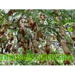 Σπόροι Tamarind - Τάμαριντ (Tamarindus indica)