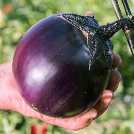 Aubergine Samen Ronde de Valence - Eierfrucht klein rund schwarz