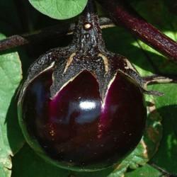Aubergine Samen Ronde de Valence - Eierfrucht klein rund schwarz  - 1