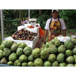 Sugar Apple, Cherimoya Seeds (Annona cherimola)  - 5