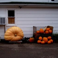 PUMPKIN /'BIG MAX/' 5 Seeds heirloom summer vegetable garden halloween GIANT 50KG