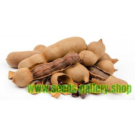 Tamarindus indica Tamarind Seeds Long Living