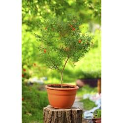 Zier Granatapfel NANA Samen (Punica granatum Nana)  - 4