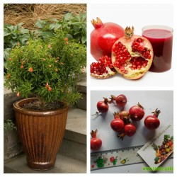 Dwarf Pomegranate Seeds (Punica granatum Nana)  - 5