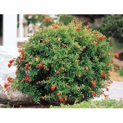 Zier Granatapfel NANA Samen (Punica granatum Nana)  - 6