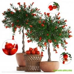 Zier Granatapfel NANA Samen...