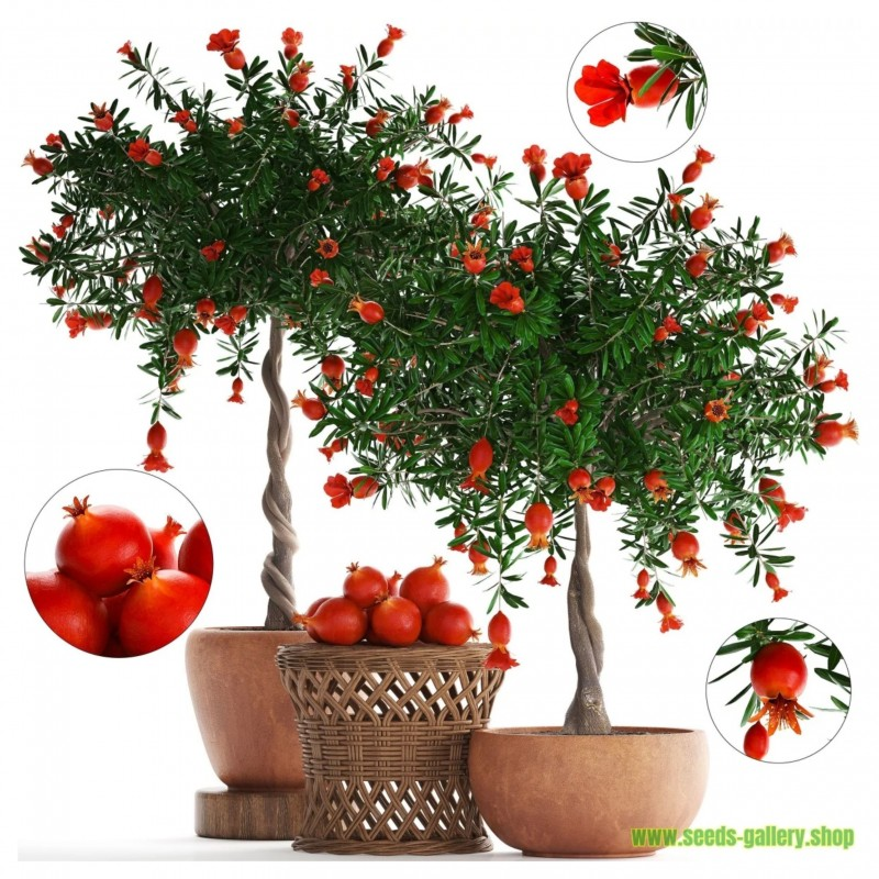 Dwarf Pomegranate Seeds (Punica granatum Nana)  - 7