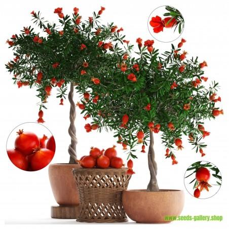 Dwarf Pomegranate Seeds (Punica granatum Nana)