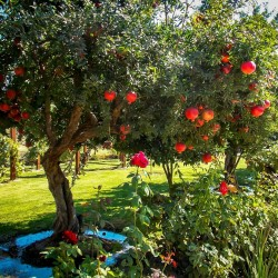 Granatäpple Frön (Punica granatum)  - 1