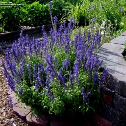 Mealy sage - Mealycup sage 'Victoria' Seeds  - 1