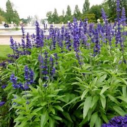 Semillas de Salvia Azul 'Victoria  - 2