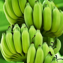 Семена банана крови (Musa acuminata ssp. Зебрина)  - 5