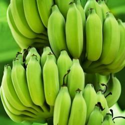 Blut Banane - Rote Banane Samen  - 5