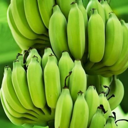 Blut Banane - Rote Banane Samen