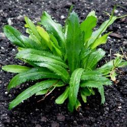 CULANTRO  Recao de Puerto Rico over 100 seeds Eryngium foetidum