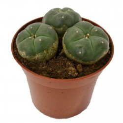 Peyote Seeds (Lophophora...