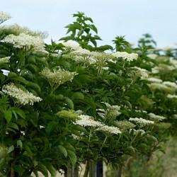Elder - Elderberry Seeds (Sambucus nigra)  - 2