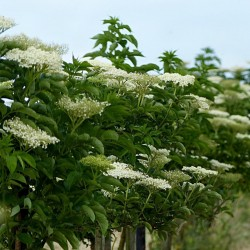 Bazga ili Zova Seme (Sambucus nigra)  - 2