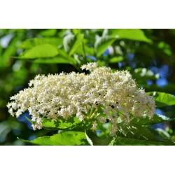Бузина́ чёрная семена (Sambúcus nígra)  - 3