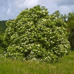 Bazga ili Zova Seme (Sambucus nigra)  - 4