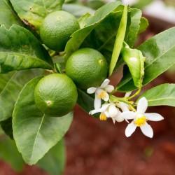 Tahitilime Frön (Citrus ×latifolia)  - 1