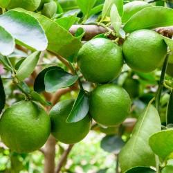 Persijska Limeta Seme (Citrus × latifolia)  - 2
