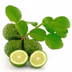 COMBAVA ili KAFFIR LIMETA Seme (Citrus hystrix)  - 2