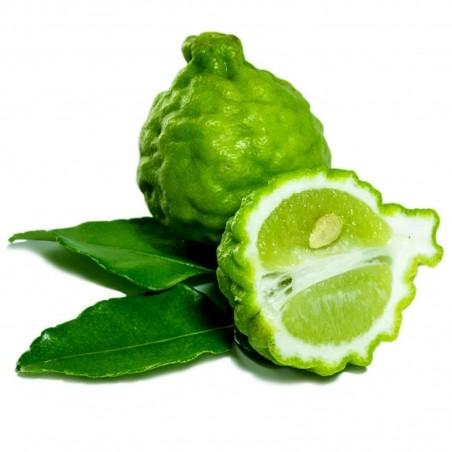 COMBAVA ili KAFFIR LIMETA Seme (Citrus hystrix)
