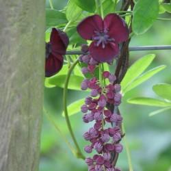 Dreiblättrige Akebia Samen (Akebia trifoliata)  - 5
