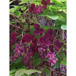 Dreiblättrige Akebia Samen (Akebia trifoliata)  - 6