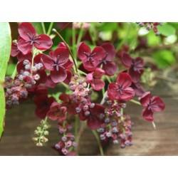 Dreiblättrige Akebia Samen (Akebia trifoliata)  - 7