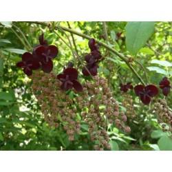Dreiblättrige Akebia Samen (Akebia trifoliata)  - 8