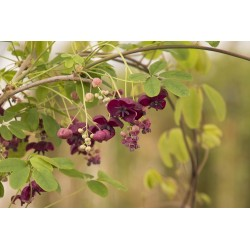 Dreiblättrige Akebia Samen (Akebia trifoliata)  - 9