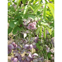 Dreiblättrige Akebia Samen (Akebia trifoliata)  - 10