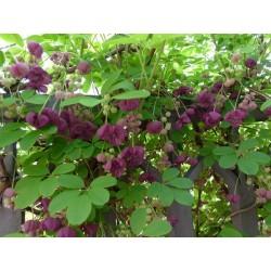 Threeleaf Akebia seeds (Akebia trifoliata)  - 11