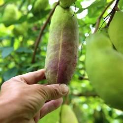 Sementes de Akebia Trifoliata Resistentes geada  - 13