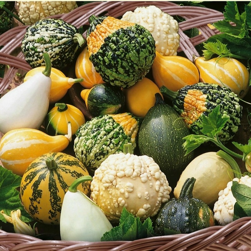 Ornamental squash mix seeds  - 4