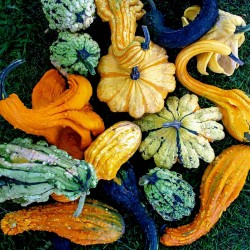 Ornamental squash mix seeds  - 3