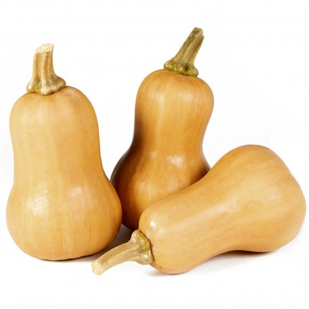 Small Fruited, Mini Butternut Squash Seeds