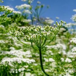 Cumin Seed (Cuminum cyminum)  - 1