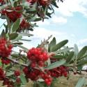 Graines Malus sargentii arbre fruits comestibles