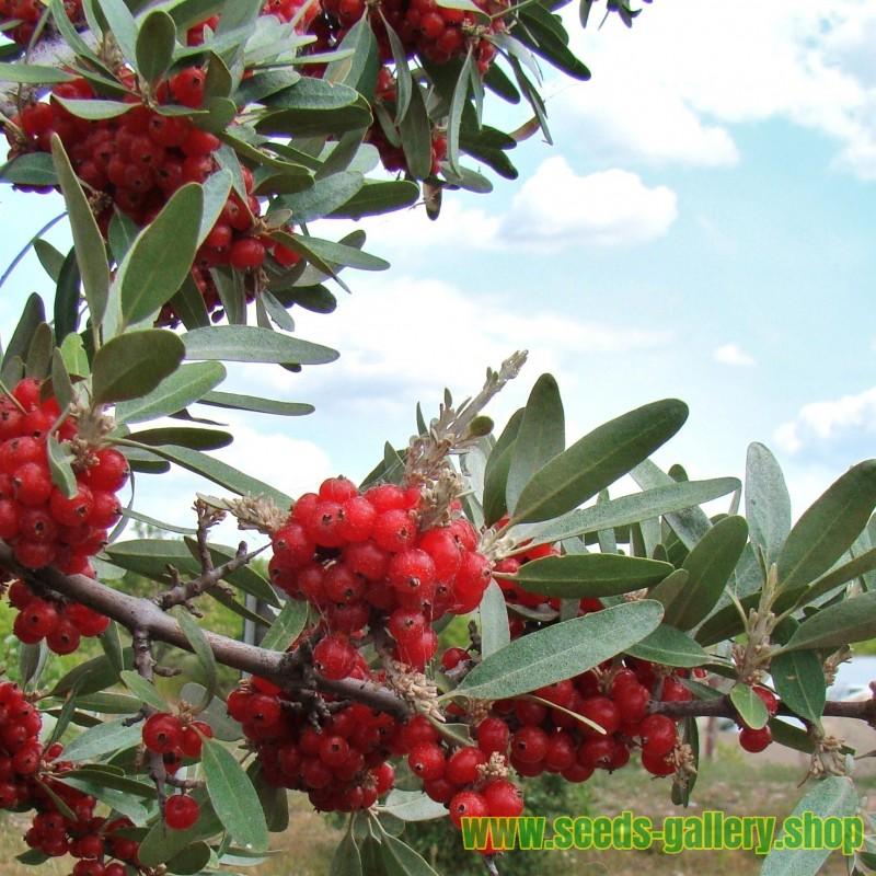 Graines Russet Buffaloberry (Shepherdia canadensis) Rusticité:-40°C