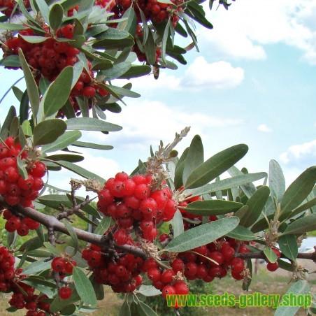 Russet Buffaloberry Seeds (Shepherdia canadensis)