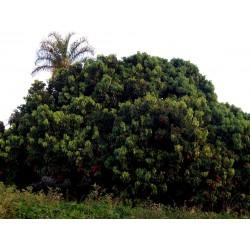 Semillas de Lichi (Litchi chinensis)  - 1