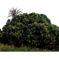 Liçi tohumlar (Litchi chinensis)  - 1